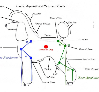 Poodle Angulation & Reference Points
